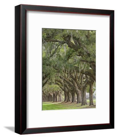 Stately Live Oak Trees Draped in Spanish Moss, Boone Hall Plantation, Mount Pleasant-Adam Jones-Framed Art Print