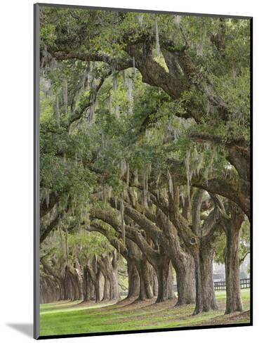 Stately Live Oak Trees Draped in Spanish Moss, Boone Hall Plantation, Mount Pleasant-Adam Jones-Mounted Photographic Print