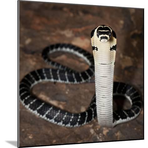 Juvenile King Cobra (Ophiophagus Hannah), Captive-Michael Kern-Mounted Photographic Print