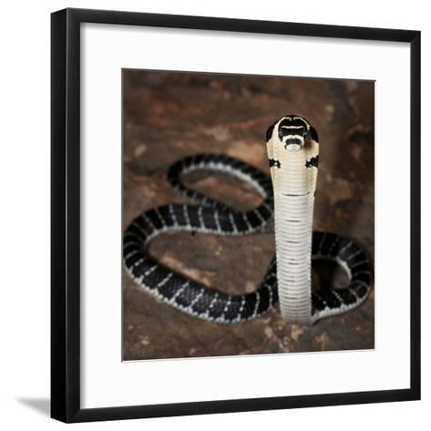 Juvenile King Cobra (Ophiophagus Hannah), Captive-Michael Kern-Framed Art Print
