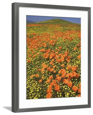 California Poppies-Adam Jones-Framed Art Print