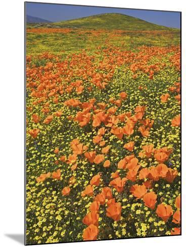 California Poppies-Adam Jones-Mounted Photographic Print