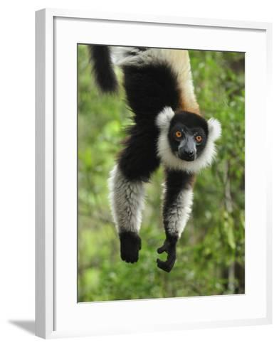 Black-And-White Ruffed Lemur Hanging from a Branch by its Tail-Thomas Marent-Framed Art Print