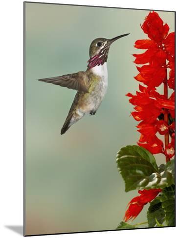 Calliope Hummingbird (Stellula Calliope) Male Flying-Jack Milchanowski-Mounted Photographic Print