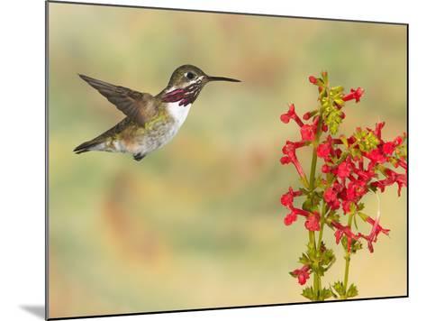 Calliope Hummingbird (Stellula Calliope) Male Flying at Texas Betony (Stachys Coccinea)-Jack Milchanowski-Mounted Photographic Print