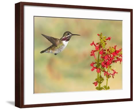 Calliope Hummingbird (Stellula Calliope) Male Flying at Texas Betony (Stachys Coccinea)-Jack Milchanowski-Framed Art Print