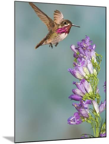 Calliope Hummingbird (Stellula Calliope) Male Flying-Jack Milchanowski-Mounted Photographic Print