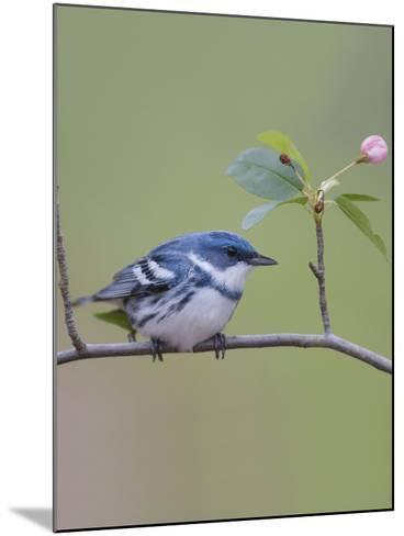 Male Cerulean Warbler (Dendroica Cerulea) Perched on a Branch-Steve Maslowski-Mounted Photographic Print