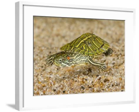 Red-Eared Turtle (Trachemys Scripta Elegans) Swimming-Joe McDonald-Framed Art Print