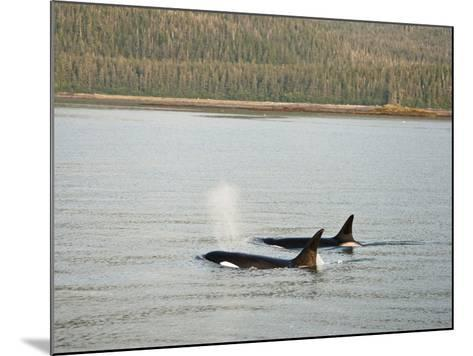 Orcas or Killer Whales (Orcinus Orca) Swimming Along the Coast of Southeastern Alaska, USA-Joe McDonald-Mounted Photographic Print