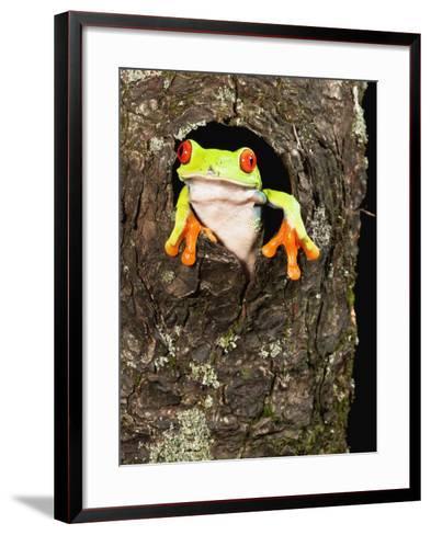 Red-Eyed Tree Frog (Agalychnis Callidryas) Peeking Out a Tree Hole-Joe McDonald-Framed Art Print