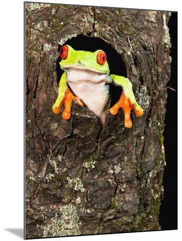Red-Eyed Tree Frog (Agalychnis Callidryas) Peeking Out a Tree Hole-Joe McDonald-Mounted Photographic Print