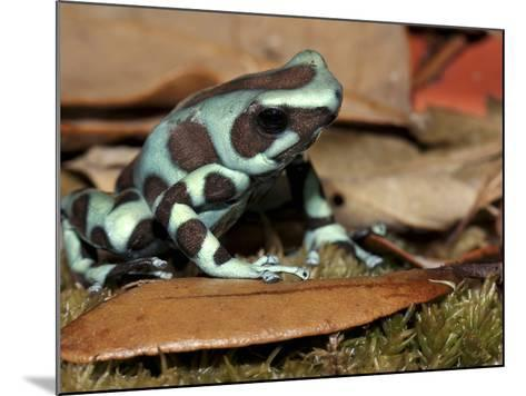 Green and Black Poison Dart Frog (Dendrobates Auratus), Captive-Michael Kern-Mounted Photographic Print