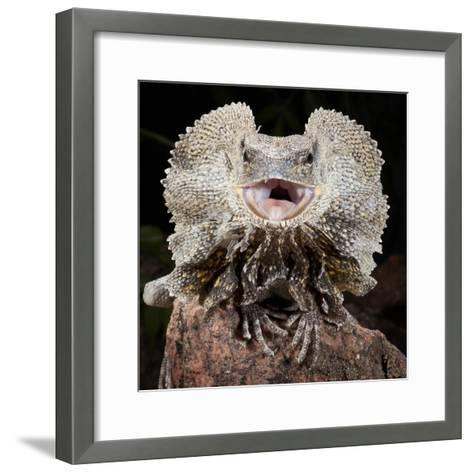 Frilled Dragon (Chlamydosaurus Kingii), Captive-Michael Kern-Framed Art Print