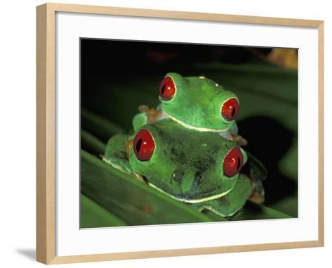 Red-Eyed Tree Frogs Mating (Agalychnis Callidryas), Cahuita National Park, Costa Rica-Thomas Marent-Framed Art Print