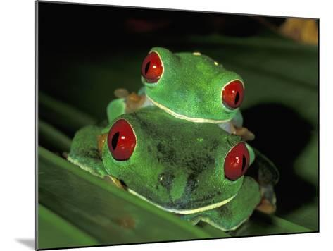 Red-Eyed Tree Frogs Mating (Agalychnis Callidryas), Cahuita National Park, Costa Rica-Thomas Marent-Mounted Photographic Print