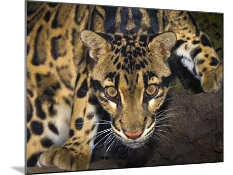 Clouded Leopard (Neofelis Nebulosa), Captive-Michael Kern-Mounted Photographic Print
