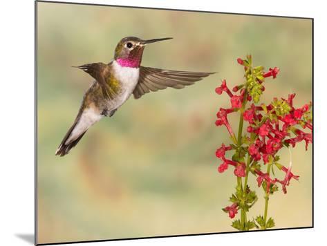 Broad-Tailed Hummingbird (Selasphorus Platycercus) Male Flying at Texas Betony (Stachys Coccinea)-Jack Milchanowski-Mounted Photographic Print