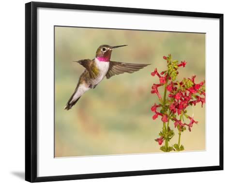 Broad-Tailed Hummingbird (Selasphorus Platycercus) Male Flying at Texas Betony (Stachys Coccinea)-Jack Milchanowski-Framed Art Print