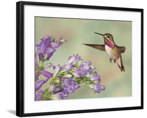 Calliope Hummingbird (Stellula Calliope) Male Flying-Jack Milchanowski-Framed Art Print
