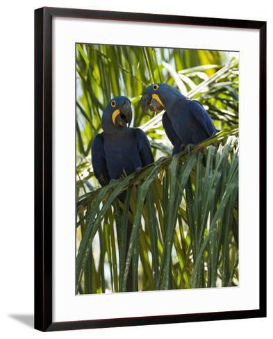 Hyacinth Macaws (Anodorhynchus Hyacinthinus), Pantanal, Brazil-Mary Ann McDonald-Framed Art Print