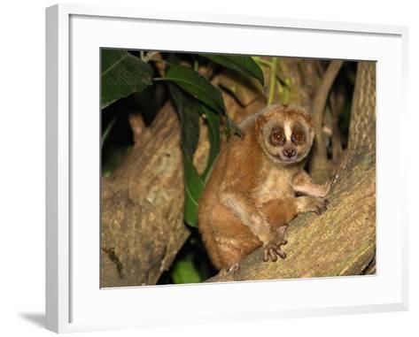 Slow Loris (Nycticebus Coucang), Thailand-Thomas Marent-Framed Art Print