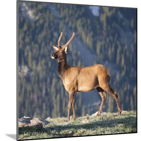 Young Rocky Mountain Elk Bull (Cervus Elaphus) Grazing in the Early Morning, Colorado, USA-Marli Miller-Mounted Photographic Print