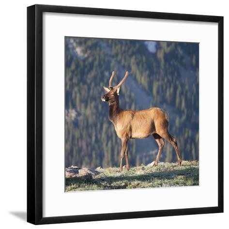 Young Rocky Mountain Elk Bull (Cervus Elaphus) Grazing in the Early Morning, Colorado, USA-Marli Miller-Framed Art Print