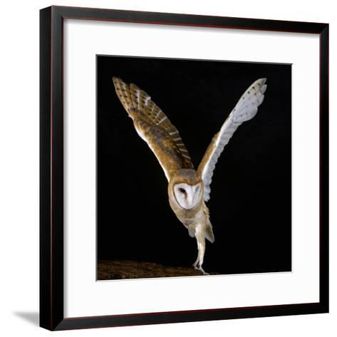 The Common Barn Owl (Tyto Alba) Is One of the Most Wide-Spread of All Land Birds, Captive-Michael Kern-Framed Art Print