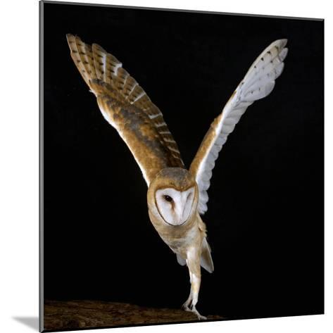The Common Barn Owl (Tyto Alba) Is One of the Most Wide-Spread of All Land Birds, Captive-Michael Kern-Mounted Photographic Print