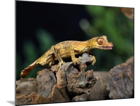 Satanic Leaf-Tailed Gecko (Uroplatus Phantasticus), Captive-Michael Kern-Mounted Photographic Print
