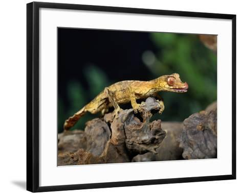 Satanic Leaf-Tailed Gecko (Uroplatus Phantasticus), Captive-Michael Kern-Framed Art Print