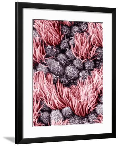 Inner or Lumenal Surface of the Human Oviduct, Showing Short Microvilli on the Surface-Richard Kessel-Framed Art Print