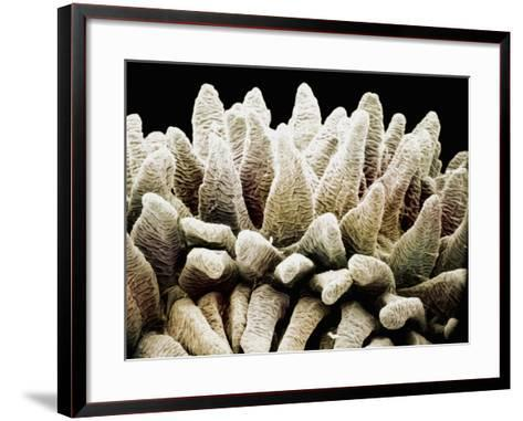 The Finger-Like Villi in the Mammal Small Intestine Mucosa Greatly Increase the Surface Area-Richard Kessel-Framed Art Print