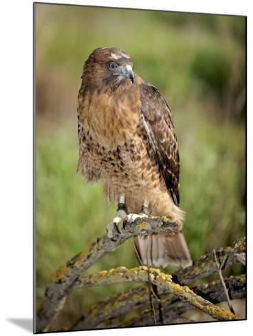 The Red-Tailed Hawk (Buteo Jamaicensis), Captive-Michael Kern-Mounted Photographic Print