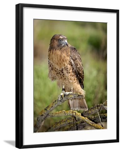 The Red-Tailed Hawk (Buteo Jamaicensis), Captive-Michael Kern-Framed Art Print