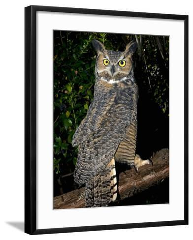 Great Horned Owls (Bubo Virginianus) Native to North America and in Central and South America-Michael Kern-Framed Art Print