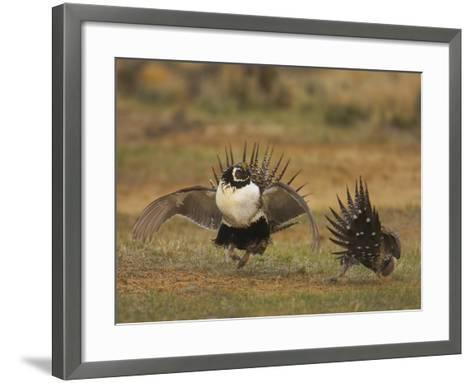 Male Greater Sage-Grouse (Centrocercus Urophasianus) Displaying-Jack Milchanowski-Framed Art Print