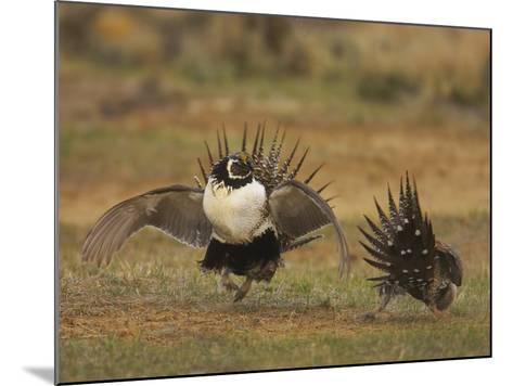 Male Greater Sage-Grouse (Centrocercus Urophasianus) Displaying-Jack Milchanowski-Mounted Photographic Print
