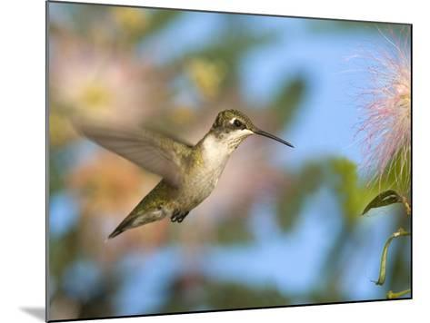 Ruby-Throated Hummingbird (Archilochus Colubris) at Mimosa-Steve Maslowski-Mounted Photographic Print