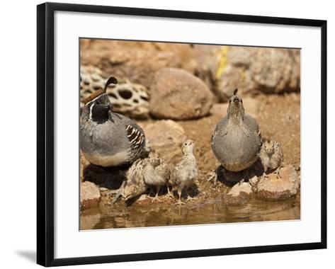 Gambel's Quail Family Drinking at a Waterhole (Callipepla Gambelii), Arizona, USA-Mary Ann McDonald-Framed Art Print