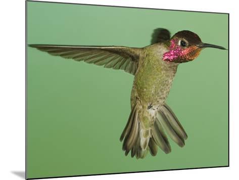 Anna's Hummingbird (Calypte Anna) Hovering with its Tongue Extended Near a Bird Feeder-Joe McDonald-Mounted Photographic Print