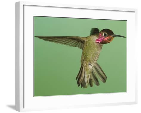 Anna's Hummingbird (Calypte Anna) Hovering with its Tongue Extended Near a Bird Feeder-Joe McDonald-Framed Art Print