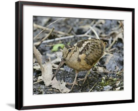 American Woodcock (Scolopax Minor)-Steve Maslowski-Framed Art Print