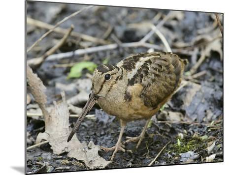 American Woodcock (Scolopax Minor)-Steve Maslowski-Mounted Photographic Print