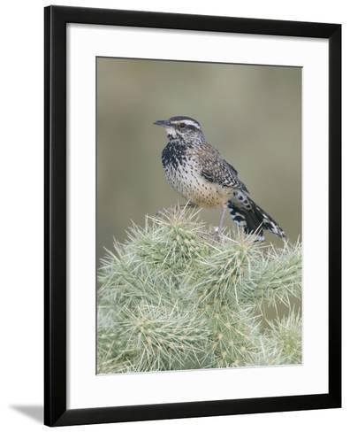 Cactus Wren (Campylorhynchus Brunneicapillus) on Cholla Cactus-Steve Maslowski-Framed Art Print