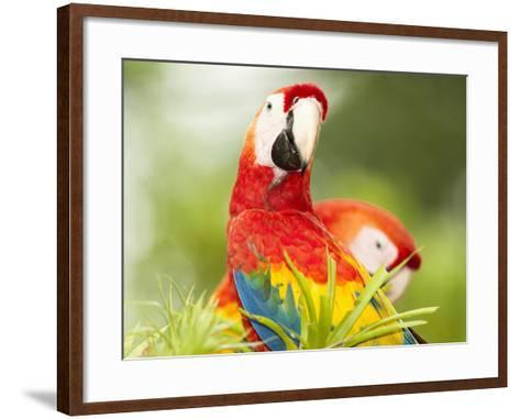 Scarlet Macaw (Ara Macao), Sarapiqui, Costa Rica-Mary Ann McDonald-Framed Art Print