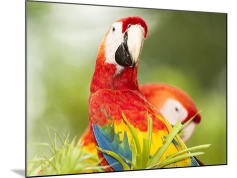 Scarlet Macaw (Ara Macao), Sarapiqui, Costa Rica-Mary Ann McDonald-Mounted Photographic Print