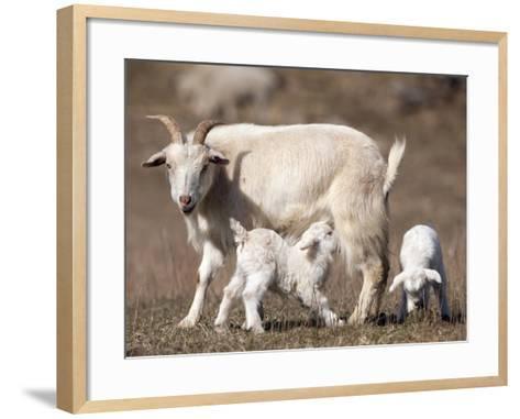 Domestic Goat (Capra Aegagrus Hircus) Nursing One of its Babies in a Barnyard-Joe McDonald-Framed Art Print