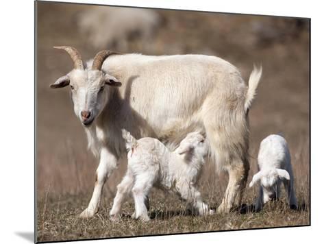Domestic Goat (Capra Aegagrus Hircus) Nursing One of its Babies in a Barnyard-Joe McDonald-Mounted Photographic Print